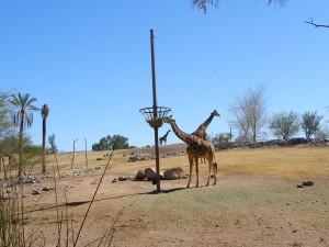 Giraffes at the Phoenix Zoo